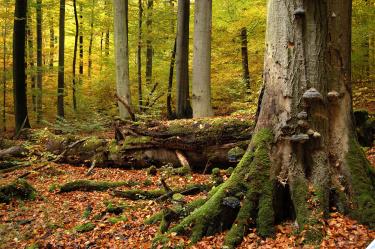 Herbststimmung im Buchenwald
